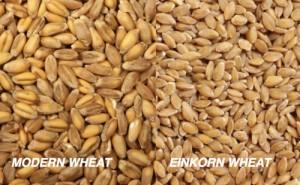 einkornwheat-300x185
